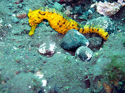 photo of yellow seahorse in underwater