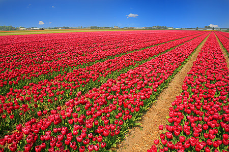 red tulip flower garden