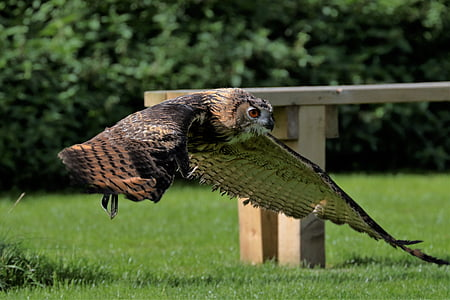 flying brown owl