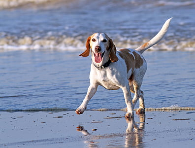 adult lemon and white beagle walking on seashore near sea at daytime