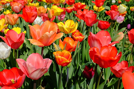 red, pink, and yellow tulip flower field