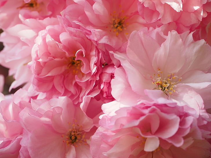 close up photography of pink carnation flowers