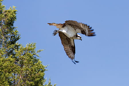 low angle photography of flying osprey under blue sky