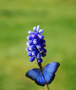 macro photo of blue morpho butterfly perched on blue flower