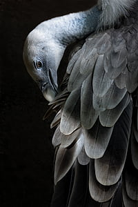 close-up photography of grey vulture