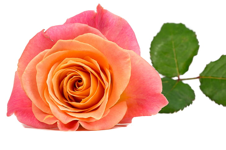 pink and orange rose flower