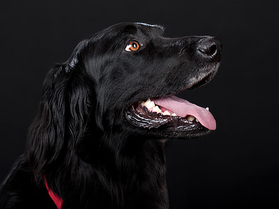 adult black flat-coated retriever close-up photography