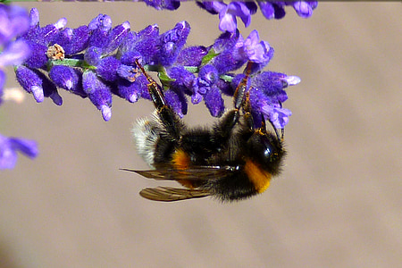 black and brown bee on purple flowers