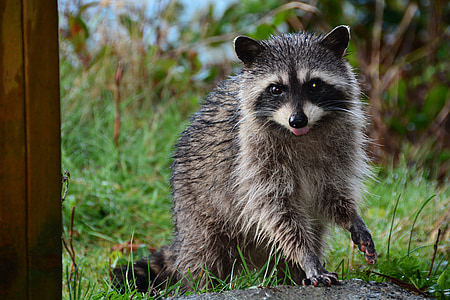 brown and black raccoon near green grass