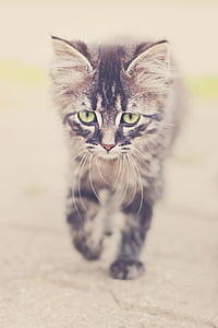 brown tabby kitten
