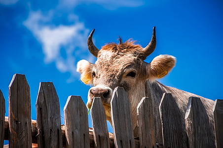 brown cow behind gray wooden fence