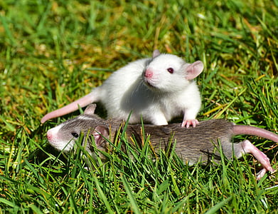 white and brown rat lying on green grass during daytime