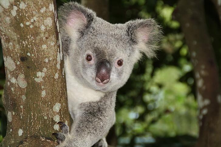 wildlife photography of koala