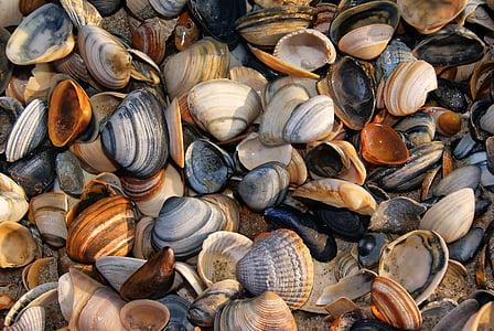 seashell shells