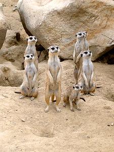 seven meerkats