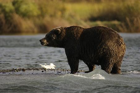 Wildlife photo of brown bear