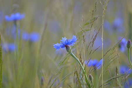 blue cornflowers in bloom at daytime