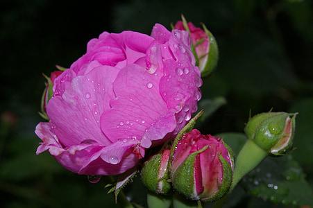 macro shot photography of pink rose