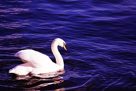white swan on the body of water