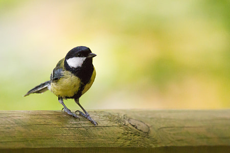 selective focus photography of yellow and black tit perched on wooden surface