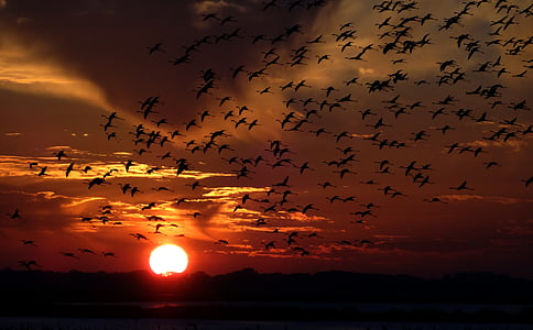 silhouette of flock of birds on mid-air during sunset