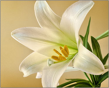 white lily in close up photography