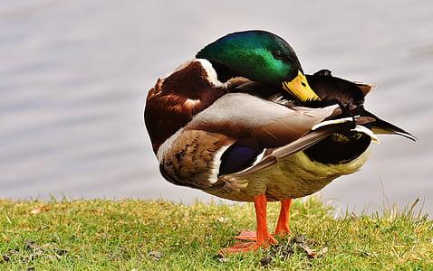 mallard duck standing on green grass