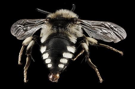 mimic bee fly