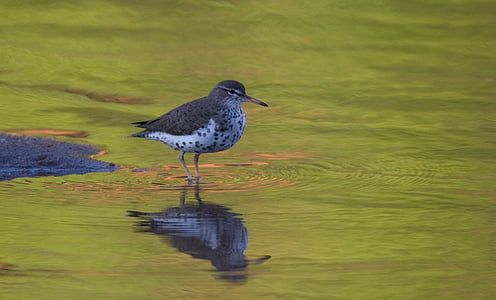 sandpiper on calm body of water