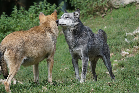 two brown and black wolves on green grass
