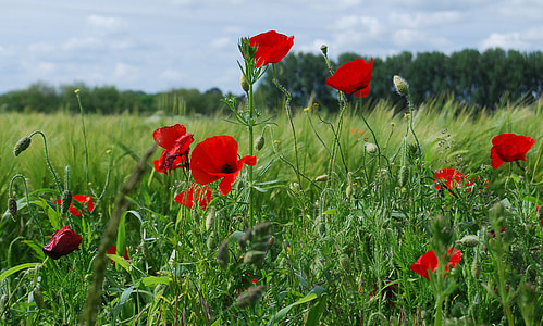 red poppy flower in bloom