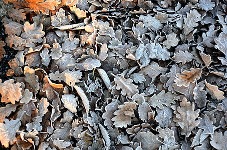 pile of gray and brown oak leaves