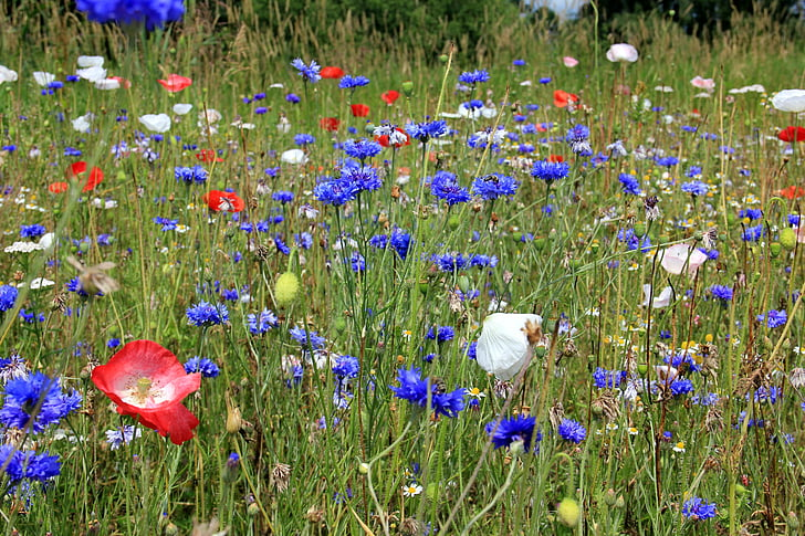 blue cornflowers and pink poppies in bloom at daytime