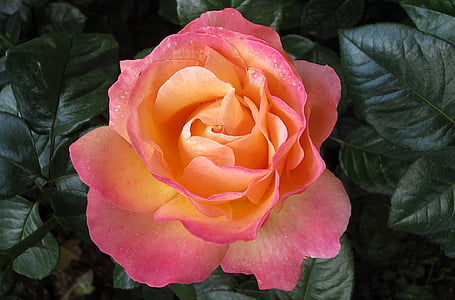 close-up photography of pink and orange rose flower