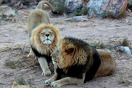 two lion sitting along rocks
