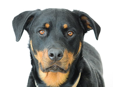 shallow focus photography of adult mahogany Rottweiler