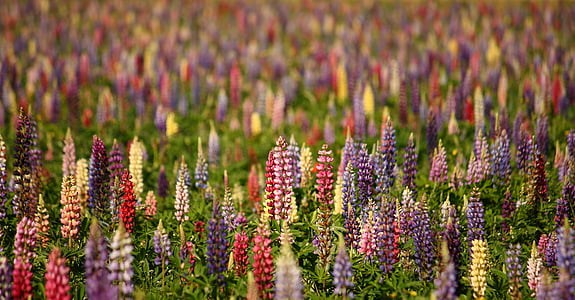 photo of assorted-color lupines flower field