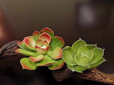 photography of red and green succulent plants