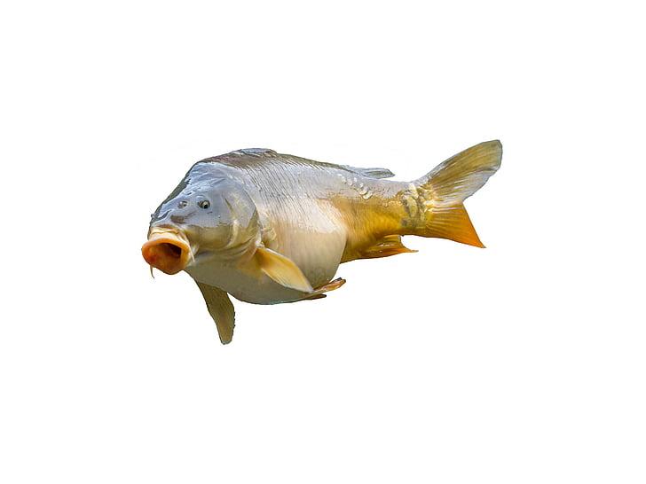 gray and orange fish on white background