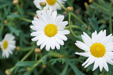 shallow focus of Oxeye Daisy