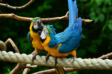 two blue-and-yellow birds