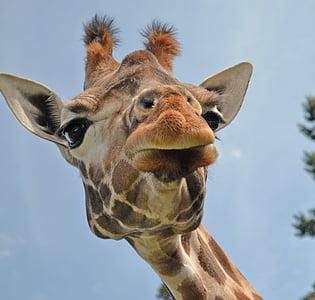 photo of giraffe's face