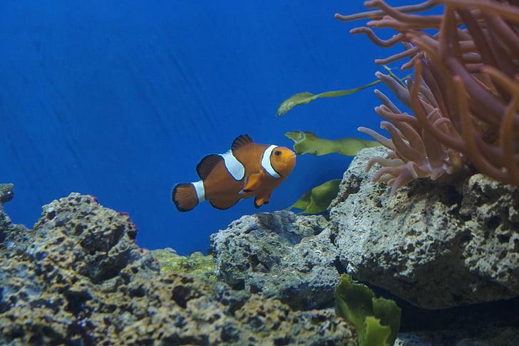 photo of clown fish