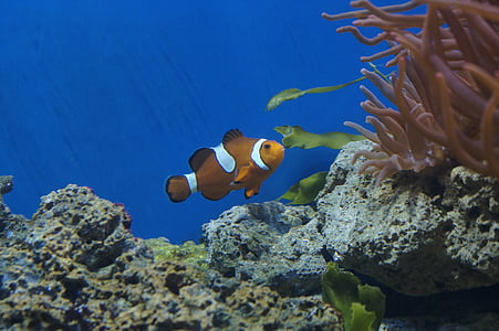 photo of clown fish