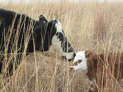 two cows kissing near grass