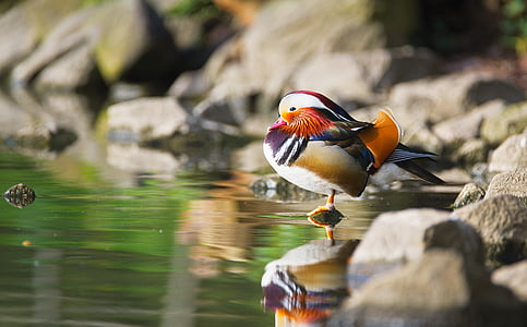 selective photo of male mandarin standing beside body of water at daytime