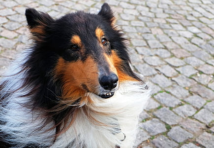 adult black, white, and brown Rough collie