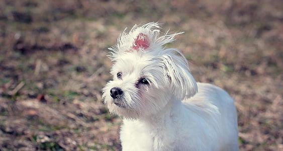 white Maltese puppy standing on field