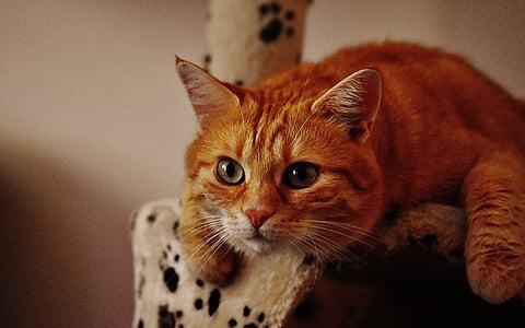 short-fur orange cat
