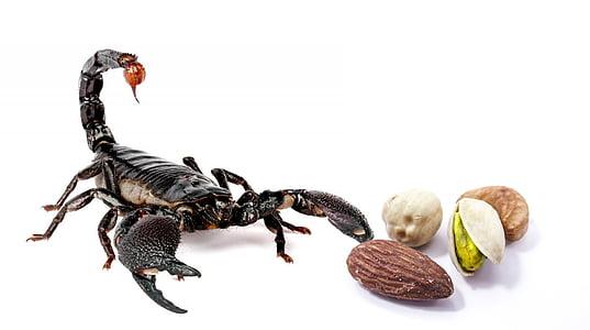 black scorpion near nuts